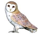 CollectA - Barn Owl Replica - 88003