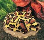 Burmese Python - With Sound