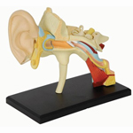 Human Anatomy Model Ear