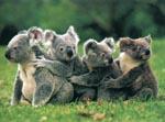 Koala 500 piece jigsaw puzzle.
