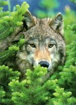 Wild Wolf 500 piece jigsaw puzzle.