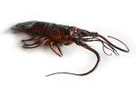 LIVING WORLD Lobster - 21cm - RETIRED