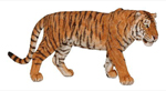 Papo - Tiger Adult